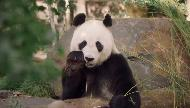 AGL Energy solar, endorsed by Adelaide Zoo's pandas Commercial